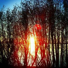 The setting sun through trees.
